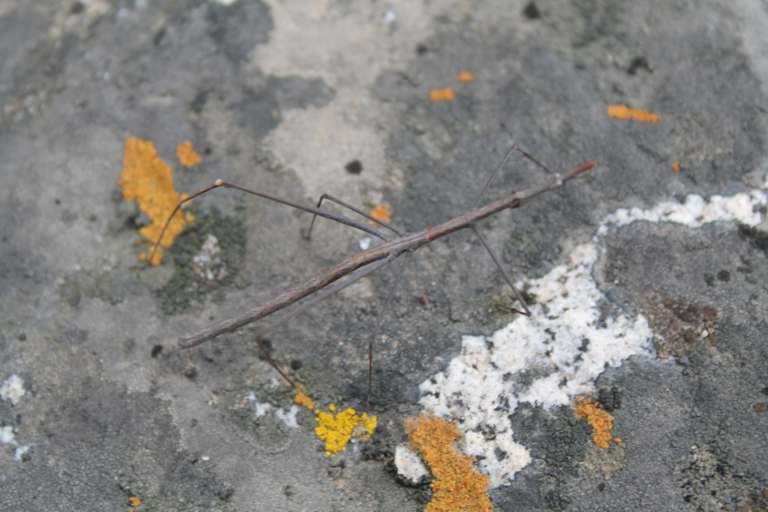 Palote (insecto)